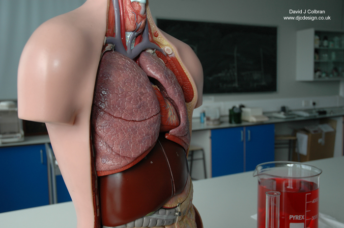 Medical model body parts image for licencing stock